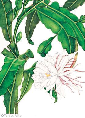 【丹尾愛子:ゲッカビジン(サボテン科) Epiphyllum oxpetalum DC. Haw.】