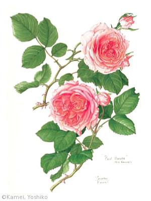 【亀井良子:バラ(バラ科) Rosa cv.】