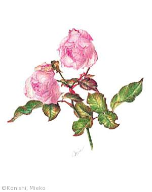 【小西美恵子:バラ 'デュシェス・ドゥ・ブラバン''桜鏡'  Rosa 'Duchesse de Brabant' (バラ科)】