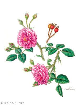 【水野邦子:モスローズ(バラ科)Rosa x Centifolia var. muscosa】