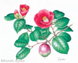 【近藤京子:ツバキ(ツバキ科) Camellia japonica】