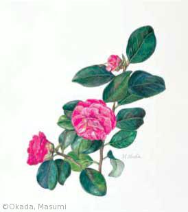 【岡田ますみ:ツバキ(栽培品種)(ツバキ科) Camellia japonica cv.】