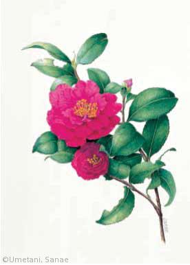 【梅谷さなえ:サザンカ(ツバキ科)Camellia sasanqua cv.】