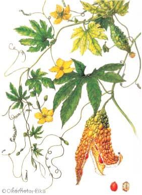 【岡元英香:ツルレイシ(ウリ科)Momordica charantia L.】