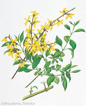 【水嶋智子:レンギョウ(モクセイ科)Forsythia suspensa (Thunb.) Vahl】