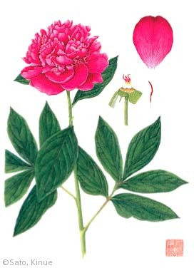 【佐藤絹恵:シャクヤク(ボタン科)Paeonia lactiflora Pall. cv.】
