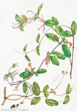 【山田ひさ子:スイカズラ(スイカズラ科) Lonicera japonica 】
