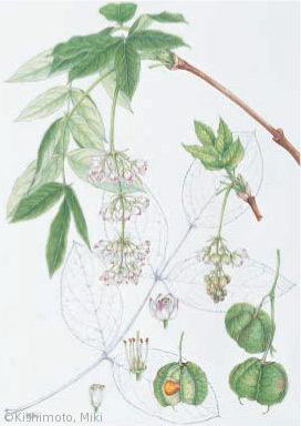 【岸本美季:セイヨウミツバウツギ(ミツバウツギ科)Staphylea pinnata】