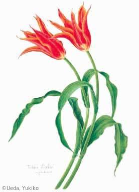 【植田由喜子:チューリップ(ユリ科)Tulipa 'Aladdin'】