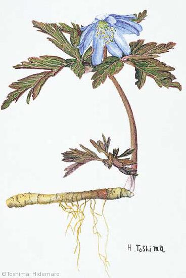 【豊島秀麿:キクザキイチゲ(キンポウゲ科)Anemone pseudoaltaica】