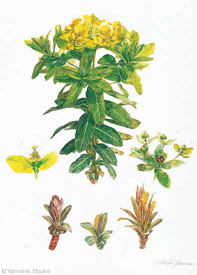 【山根悦子:ノウルシ(トウダイグサ科)Euphorbia adenochlora】