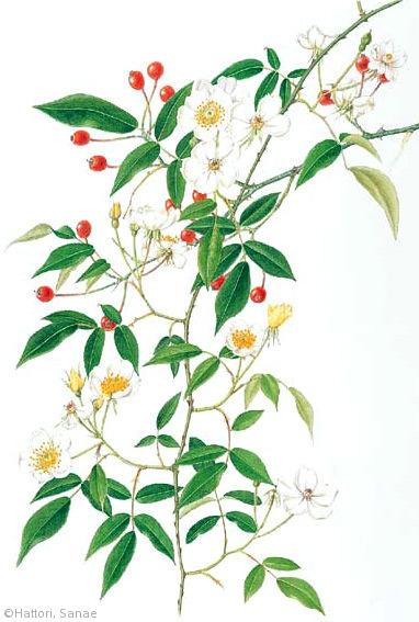 【服部早苗:ヤマイバラ(バラ科)Rosa sambucina var. sambucina】