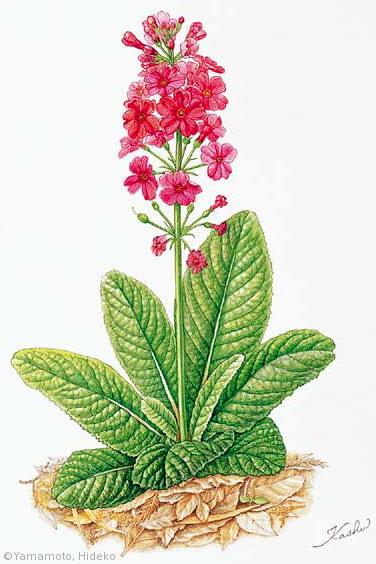 【山本秀子:クリンソウ(サクラソウ科)Primula japonica】