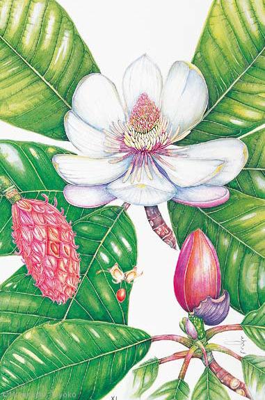 【宮腰とよ子:ホオノキ(モクレン科)Magnolia obovata】