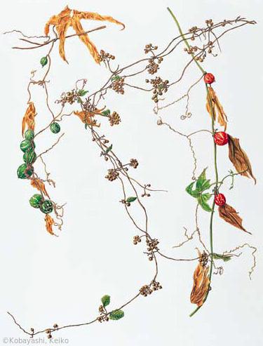 【小林恵子:秋の果実(へクソカズラ[中央]とオキナワスズメウリ)(アカネ科 ウリ科)Paederia scandens var. scandens [center] Diplocyclos palmatus】