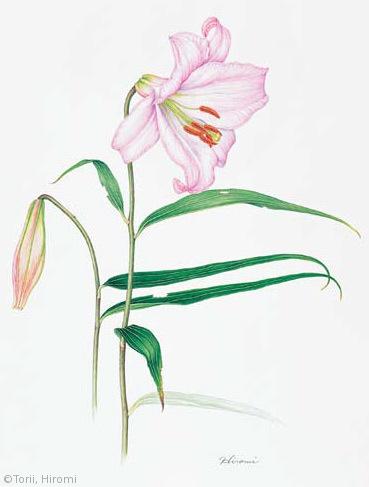 【鳥居ひろみ:ササユリ(ユリ科)Lilium japonicum var. japonicum】
