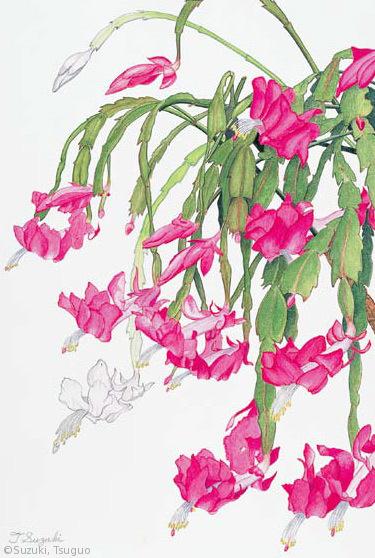 【鈴木嗣夫:シャコバサボテン(サボテン科)Schlumbergera truncata cv.】