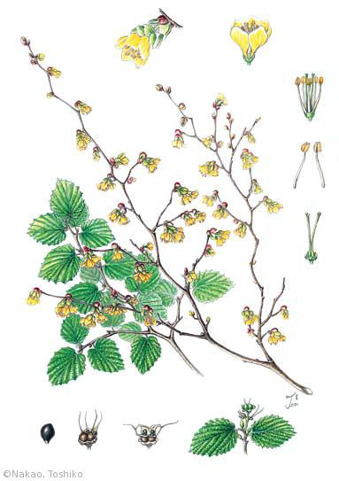 【中尾敏子:ヒュウガミズキ(マンサク科)Corylopsis pauciflora】