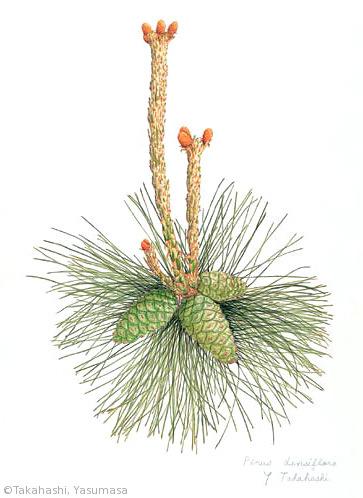 【高橋靖昌:アカマツ(マツ科)Pinus densiflora】