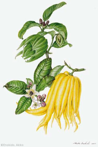 【榎戸晶子:ブッシュカン(ミカン科)Citrus medica var. sarcodactylis】