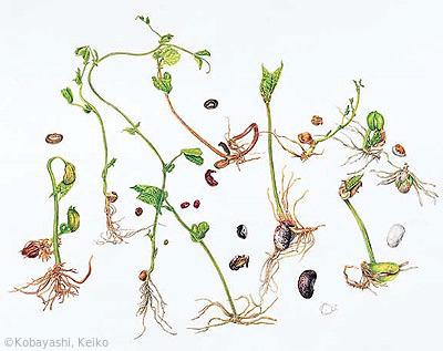 【小林恵子:発芽(マメ科)Various beans' seedlings】