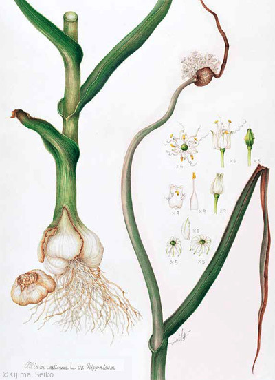 【貴島せい子:ニンニク(ネギ科)Allium sativum cv.】