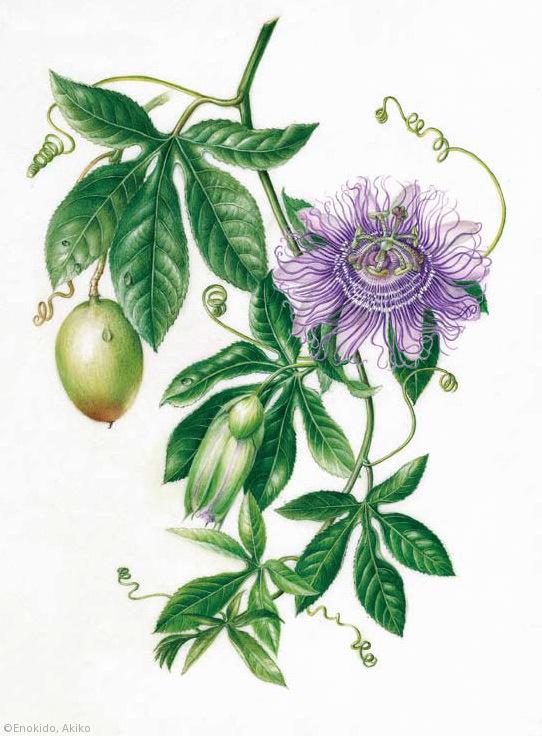 【榎戸晶子:パッシフロラ 'インセンス'(トケイソウ科)Passiflora 'Incense'】