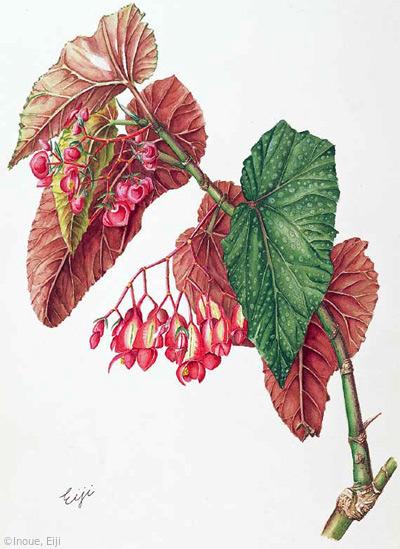 【井上英二:木立ベゴニア(シュウカイドウ科)Begonia (cane-like begonia)】