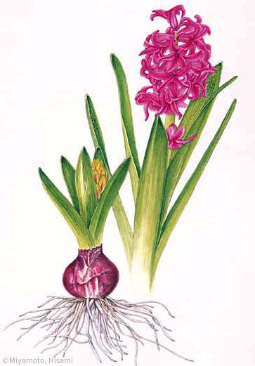 【宮本寿美:ヒアシンス (キジカクシ科) Hyacinthus orientalis cv.】