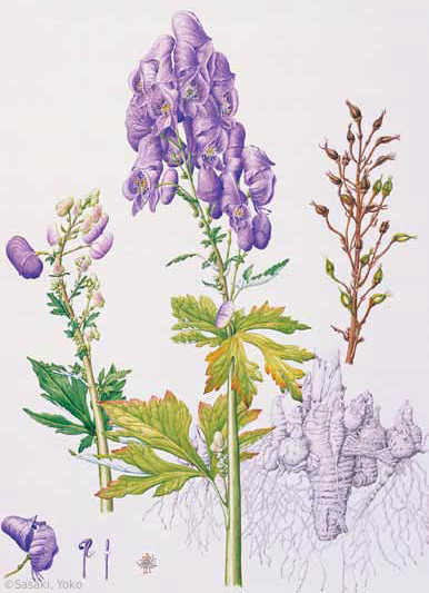 【佐々木容子:トリカブト(園芸種) (キンポウゲ科) Aconitum】