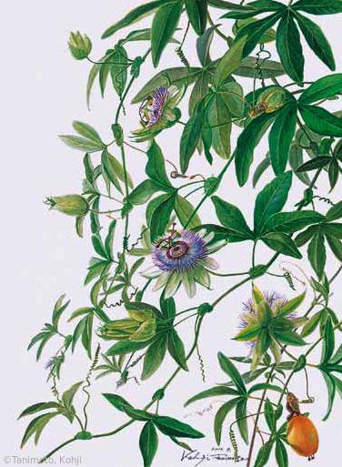 【谷本弘次:トケイソウ (トケイソウ科)Passiflora caerulea】