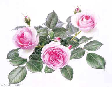 【木崎奈緒美:バラ(ピエール ドゥ ロンサール) (バラ科)Rosa' MEIviolin' (Pierre de Ronsard)】