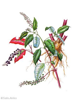 【佐藤晶子:ヨウシュヤマゴボウ(ヤマゴボウ科)Phytolacca americana L.】