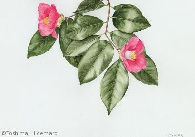 【豊島秀麿:ヤブツバキ(ツバキ科)Camellia japonica】