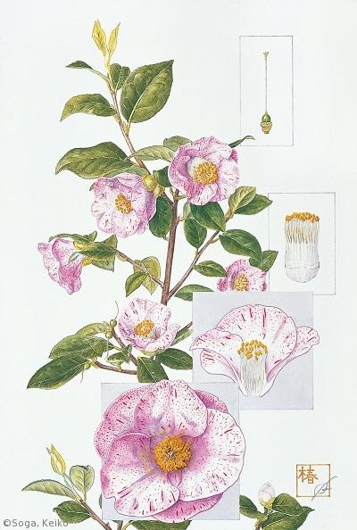 【曽我恵子:ツバキ'吹雪白玉' (ツバキ科)Camellia japonica 'Fubuki-shiratama'】