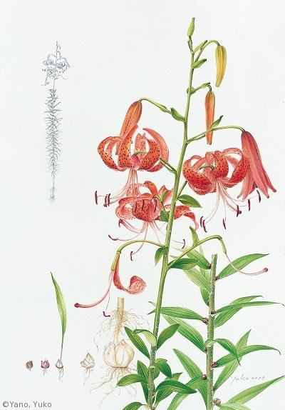 【矢野裕子:オニユリ(ユリ科)Lilium lancifolium】