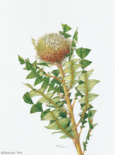 【中瀬美絵:バンクシア・バクステリ(ヤマモガシ科)Banksia baxteri】