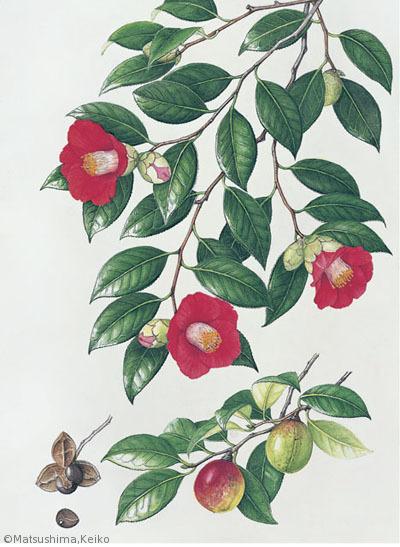 【松島恵子:ヤブツバキ(ツバキ科)Camellia japonica】