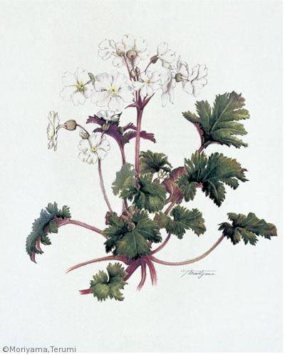 【森山照美:雪桜(カンザクラ)(サクラソウ科) Primula praenitens】