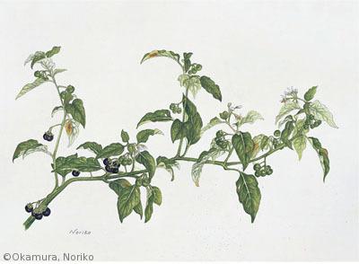 【岡村紀子:オオイヌホオズキ(ナス科)Solanum nigrescens】