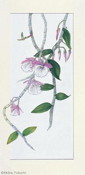 【秋葉馥美:デンドロビウム アフィルム (ラン科) Dendrobium aphyllum】
