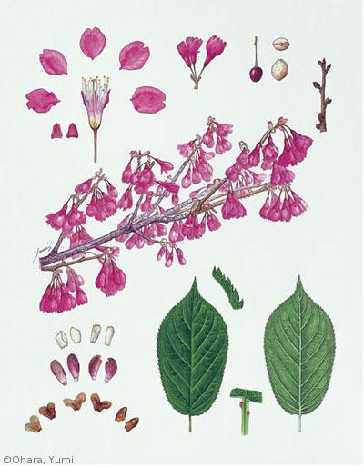 【大原裕美:カンヒザクラ(バラ科)Cerasus campanulata】