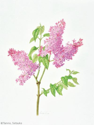 【丹野節子:ライラック(ムラサキハシドイ)(モクセイ科)Syringa vulgaris】
