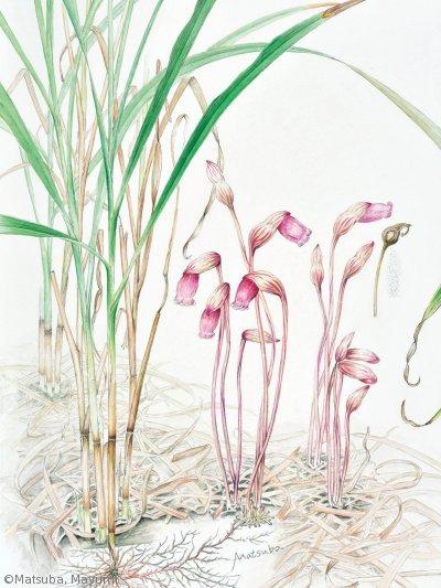 【松葉まゆみ:ナンバンギセル(ハマウツボ科)Aeginetia indica】