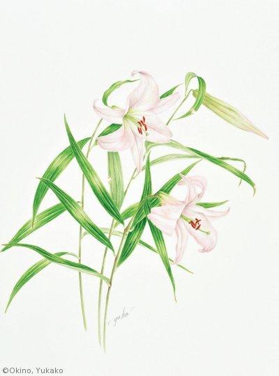 【沖野由加子:ササユリ(ユリ科)Lilium japonicum】