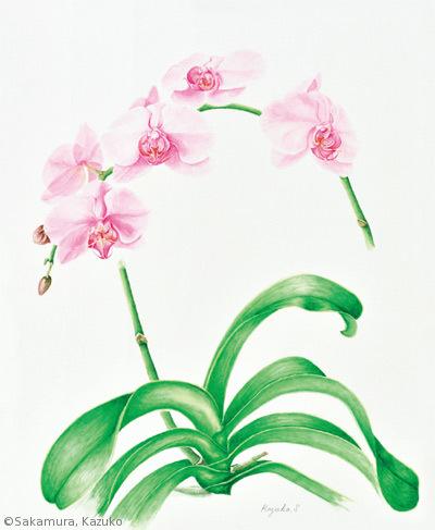 【坂村和子:コチョウラン(ラン科)Phalaenopsis cv.】