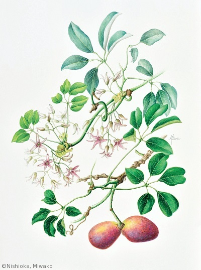 【西岡美和子:ムベ(アケビ科)Stauntonia hexaphylla】