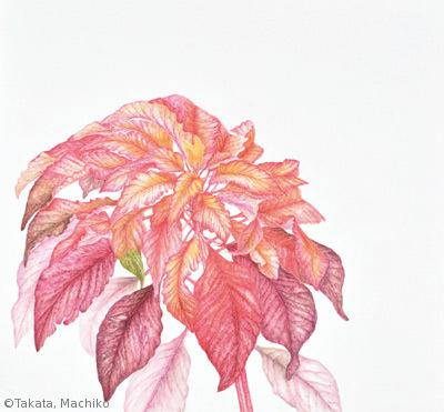 【髙田眞智子:ハゲイトウ (ヒユ科)Amaranthus tricolor】