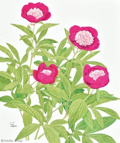 【植田修二:シャクヤク(ボタン科)Paeonia lactiflora cv.】