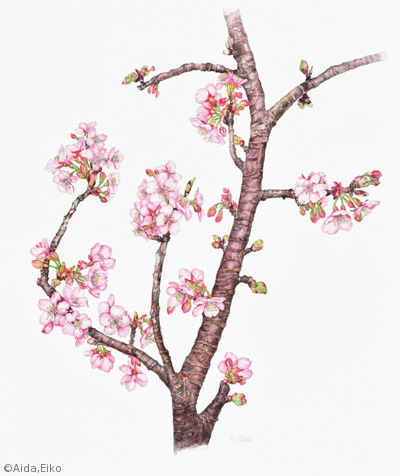 【相田穎子:カワヅザクラ(バラ科)Cerasus × kanzakura 'Kawazu-zakura'】